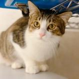 『【猫】マイオニーくん 家族が決まりました』の画像