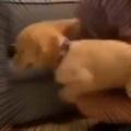 【子イヌ】 お父さんが床に座っていた。ひゃっほぉ~! → 幸せそうな子犬はこうなります…