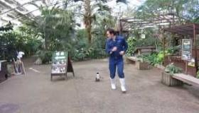 【動物】 これは愛らしい! 日本で 飼育員に恋する 小さなペンギンの歩く動画が話題に!  海外ノアhんのう