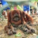 『虐待によって絶滅に近づくオランウータン』の画像