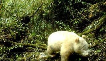 真っ白の野生パンダが撮影されるwwwwwwwwww