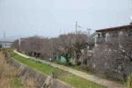 交野桜っていう品種の桜もみれる!天の川沿いの桜スポット~交野タイムズがオススメする地元桜スポット~