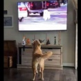 「テレビに登場する犬が大活躍…」それを見た犬が大興奮(動画)
