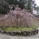『枝垂れ桜』の画像