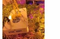 バカッターで大麻の栽培・所持を自慢「逮捕上等!」 → ヤク中や暴力団との交際も判明 → 警察が動く