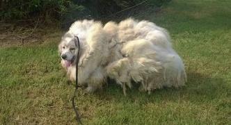モッフモフに毛が伸びたワンコを発見…無事保護されスッキリした姿に