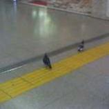 『避暑鳩もしくは電車鳩』の画像