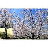 『日本の桜も満開になりました』の画像