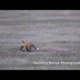 『獲物を掠め取るワシと子キツネの空中戦』の画像