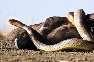 ワシ対ヘビ対サソリ もしも同じ大きさだったら
