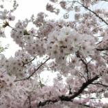 『今日の善通寺(桜)』の画像