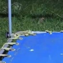 【跳ねる毛玉】 庭に小さなトランポリンを置いてみた。ヒャッハ~! → オコジョさんこうなります…