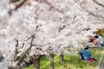 桜の街、交野さんぽ・みちくさ 〜榜示川の近く編〜