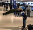 空港で女性がクジャクを連れて一緒に搭乗しようとして止められる