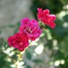 『薔薇が咲いています』の画像