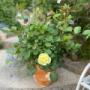 *クリーミーエデンが咲いた♡&紫陽花の花芽