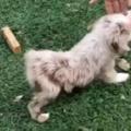 子イヌが「とことこ」やってきた。パパ、おねが~い♪ → 甘えん坊はこうなります…