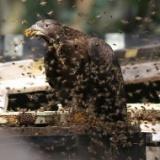 【閲覧注意】鳥さん「蜂の巣うんめーww」