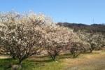 So ビューティフル!交野高校横の梅がめっちゃ開花してて夢のごとし!