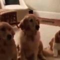 3匹のイヌが並んでいる。この靴にイタズラしたのは誰? → こうなる…