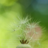 『MINOLTA 50mm F2.8 Macro タンポポの綿毛』の画像
