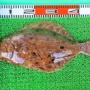 タイラバで65cmまでの良型マダイ!泳がせ釣りではヒラメ!
