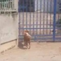 イヌが「散歩」から帰ってきた。でも家の門は閉まっている。どうするの? → 犬はいつもこうします…