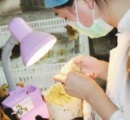 中国のヒヨコ雄雌鑑定士の日給は500ドル(日本円で6万円以上)!ちょっと今からヒヨコ捕まえてくるわ