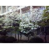 『ハナミズキが咲く季節に』の画像