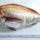 『国東の食環境(125)鯛』の画像