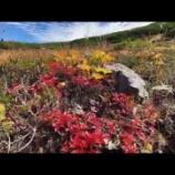 『チングルマの紅葉』の画像
