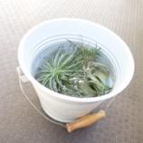 『ウチのエアプランツ水やり方法のはなし』の画像