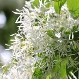 『ヒトツバタゴ:歴史を語る植物たち』の画像