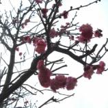 『平成24年3月の紅梅と白梅、雪景色』の画像