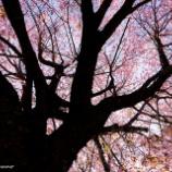 『寂しい桜Lonely cherry blossoms.』の画像