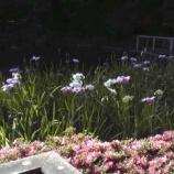 『戸田市後谷公園で菖蒲が見頃になっています! #todacity』の画像