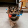 子イヌがゆっくり近づいてきた。口に「おもちゃ」を咥えている。どうしたの? → こうなる…