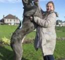 11か月男児、2頭の飼い犬に頭かまれ死亡…体重80キロ「グレートデン」