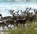 ノルウェーでトナカイ版「狂牛病」、2000頭を殺処分へ