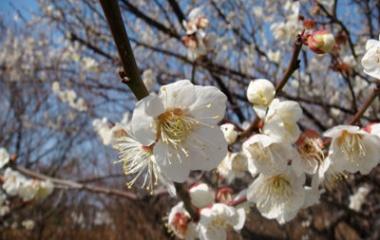 『梅の花、ふくふく』の画像