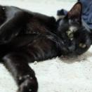 1月24日 日曜日『メールでご予約 保護猫のずっとのお家探し里親会』参加猫紹介③。