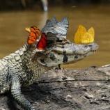 『カメの涙を飲む蝶たち:涙食』の画像