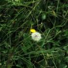 『【植物】タンポポじゃないよ、ブタ〇【写真あり】』の画像