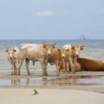 【伝説】津波にさらわれ海を漂流した牛さん、遠泳し別の島で暮らしているのが発見されるwwww