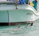 イルカ4頭が砂浜に乗り上げ 漁師の手で救助 漁船でけん引して沖合へ