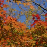 『紅葉狩り 小石川後楽園 1 』の画像