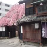 『今年のモンスター桜・・・石橋屋さんの桜』の画像