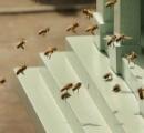 80万匹のハチに襲われ死亡
