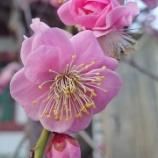 『【写真】Xperia5 - 亀戸も梅咲きました! + 錦糸町 1』の画像