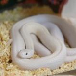 『白ヘビに出会う』の画像